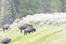 イエローストーン国立公園のアメリカバイソンの画像041