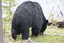 イエローストーン国立公園のブラックベアーの画像167