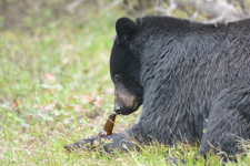 イエローストーン国立公園のブラックベアーの画像173