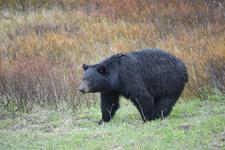イエローストーン国立公園のブラックベアーの画像174
