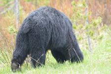 イエローストーン国立公園のブラックベアーの画像175