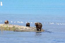 アラスカのグリズリーの画像019