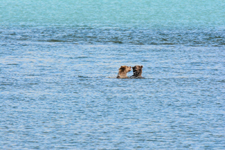 アラスカのグリズリーの画像023