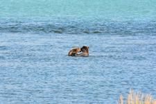 アラスカのグリズリーの画像024