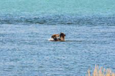 アラスカのグリズリーの画像025