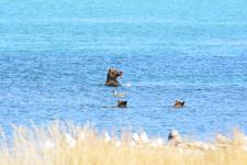 アラスカのグリズリーの画像026