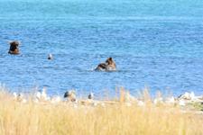 アラスカのグリズリーの画像027