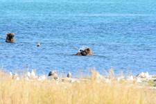 アラスカのグリズリーの画像029