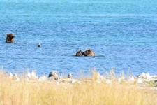 アラスカのグリズリーの画像030