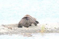アラスカのグリズリーの画像032