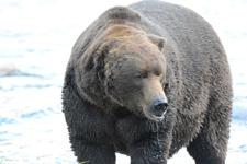 アラスカのグリズリーの画像034