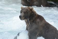 アラスカのグリズリーの画像036