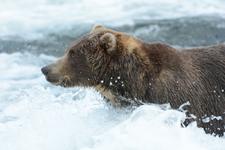 アラスカのグリズリーの画像037