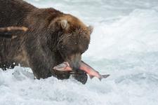 アラスカのグリズリーの画像043
