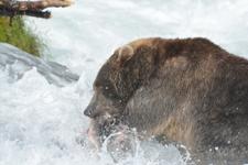 アラスカのグリズリーの画像055