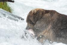アラスカのグリズリーの画像057