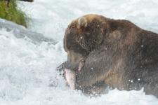 アラスカのグリズリーの画像062