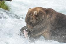 アラスカのグリズリーの画像063
