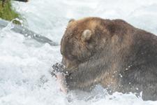 アラスカのグリズリーの画像064