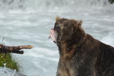 アラスカのグリズリーの画像065