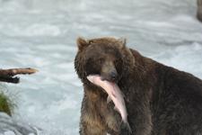 アラスカのグリズリーの画像067