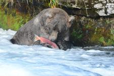 アラスカのグリズリーの画像083