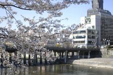 三条鴨川の桜の画像001