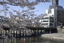 三条鴨川の桜の画像002