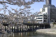 三条鴨川の桜の画像003