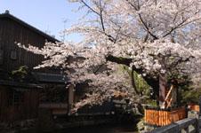 京都祇園の桜の画像002