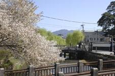 京都祇園の桜の画像006