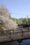 京都祇園の桜の画像007