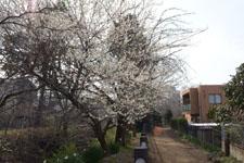 玉川上水緑道の白梅の画像001