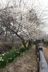 玉川上水緑道の白梅の画像002