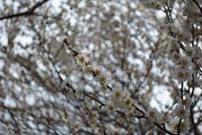 玉川上水緑道の白梅の画像003