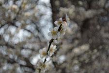 玉川上水緑道の白梅の画像004