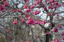玉川上水緑道の紅梅の画像001