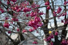 玉川上水緑道の紅梅の画像002