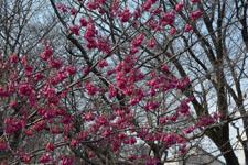 玉川上水緑道の紅梅の画像003