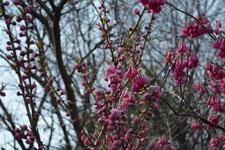 玉川上水緑道の紅梅の画像004