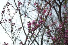 玉川上水緑道の紅梅の画像005