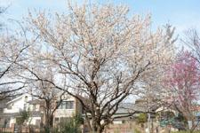 玉川上水緑道の白梅の画像005