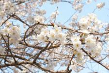 玉川上水緑道の白梅の画像006