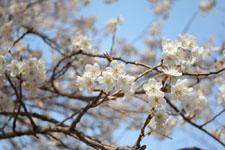 玉川上水緑道の白梅の画像007