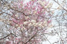 玉川上水緑道の白梅の画像008