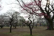 小金井公園の梅園の画像002