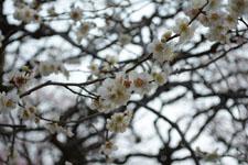 小金井公園の白梅の画像001