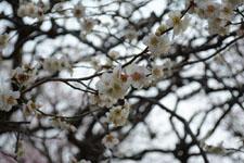 小金井公園の白梅の画像002