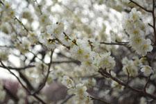 小金井公園の白梅の画像003