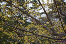 小金井公園のサンシュユの画像002
